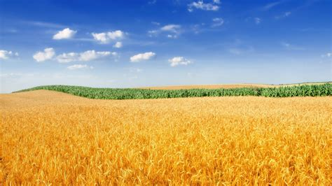 golden wheat field  wallpapers hd wallpapers id