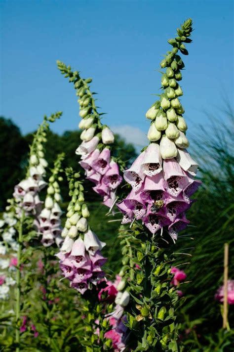 Fox Glove  Also Deer Resistant  Flowers Pinterest