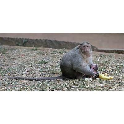 File:Crab-eating Macaque nursing.jpg - Wikipedia