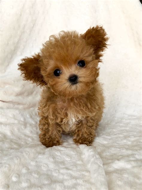 Micro Teacup maltipoo puppy red for sale   iHeartTeacups