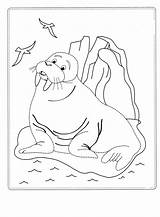 Walrus Coloring Pages sketch template