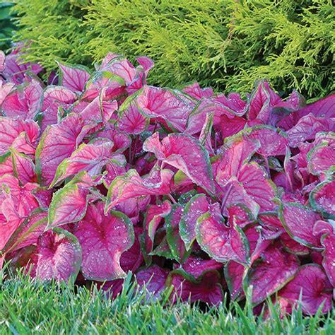 caladiums florida longfield gardens 1 florida sweetheart caladium bulbs 5 pack 20000111 the home depot