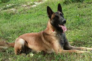dogs which one should i get german shepherd or belgian
