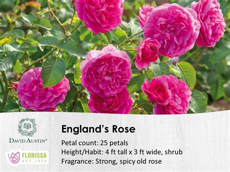 david austin roses florissa flowers roses fruits