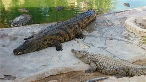en compagnie foto  krokodilfarm animalia midoun