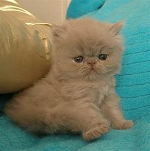 CatzR4Me Persian Himalayan & Exotic Cats - Available