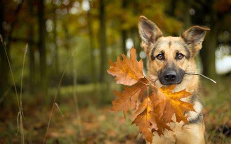 automne chien feuille bokeh hd fonds decran animaux