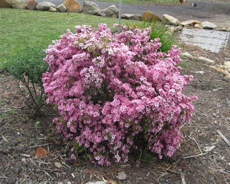 Nursery House Plants by Gardensonline Leptospermum Scoparium