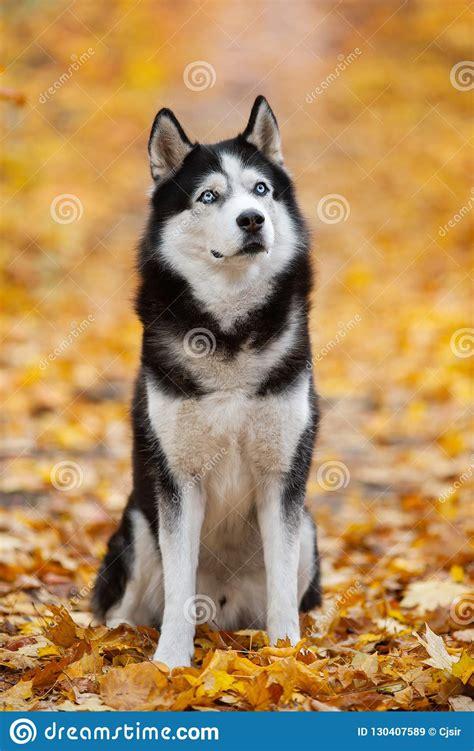 beautiful black  white blue eyed siberian husky sitting