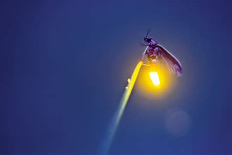 fireflyorg firefly lightning bug facts pictures