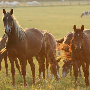 chambres d hotes calvados le cheval en normandie haras du calavdos élevage de