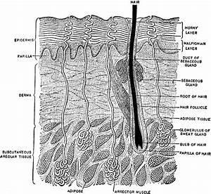 Hair Follicle Diagram Worksheet