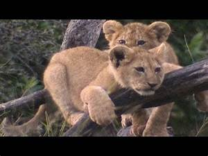 Baby king of the jungle - Amazing Animal Babies: Lion (Ep ...
