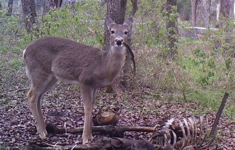 See A Deer Eating A Human For The First Time In Recorded