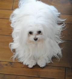 Cute Dogs Dont Shed by Everything You Need To Know About The Maltese Rover Blog