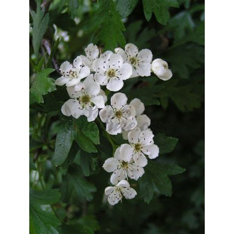 aubepine fleur herboristerie crataegus oxyacanta