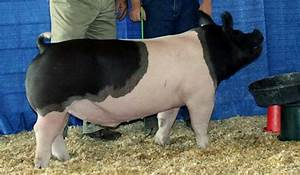 Champion Show Pigs - Land of Promise Farms - 4H & FFA Club ...