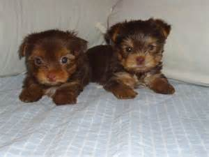 Dogs Who Dont Shed by A Idade De Um Yorkie Yorkie Colors