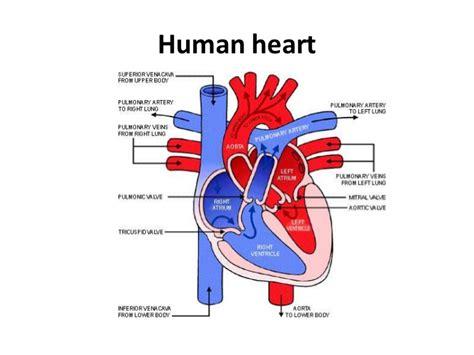 The Circulatory System!