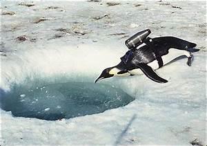 Foraging: Emperor Penguins - ForaginG EMPEROR PENGUIS