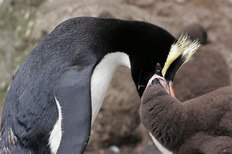 Crested Penguin Eating