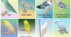Parrotlet Chart Dieren Pinterest