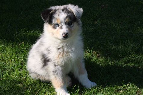 Australian Shepherd Dog Information For Owners