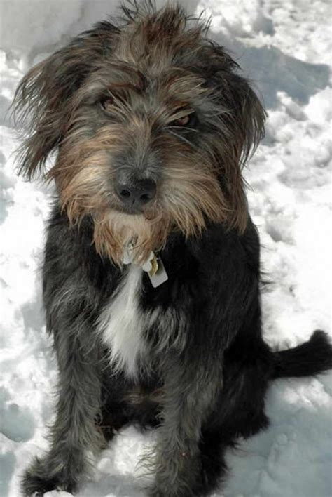 Schnoodle Dog Breed Information