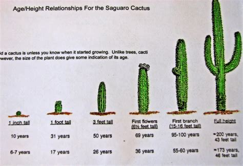 Diagram Of Saguaro Cactu by Structured Water And Air Photo Gallery Structured Water