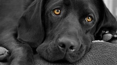 Labrador Awesome