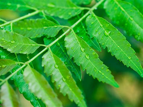 reasons     neem leaves daily   month