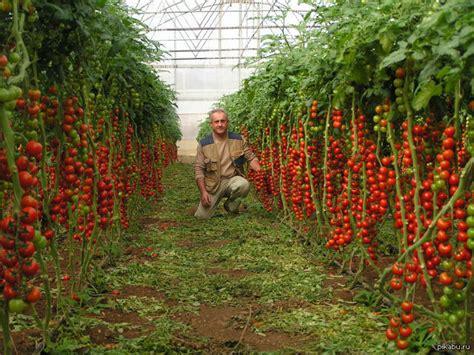 tomato seeds tsifomandra tree tomato vegetable seeds  seeds ebay