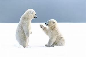 Polar Bear HD Wallpapers For Desktop | Polar Bear Pictures ...
