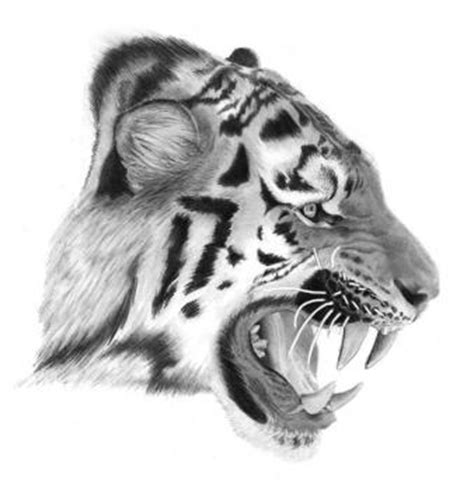 draw  real tiger step  step forest animals