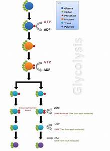 Stages Of Glycolysis