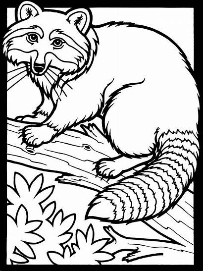 Raccoon Coloring Pages Printable Mammals