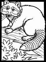 Raccoon Coloring Printable Pages sketch template