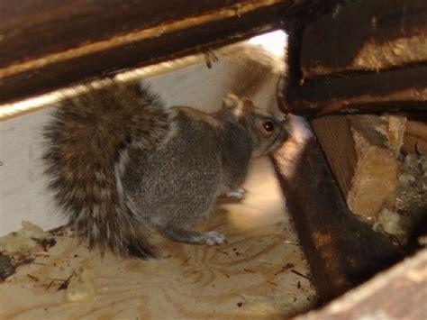 tips   rid   pests   attic mice bats