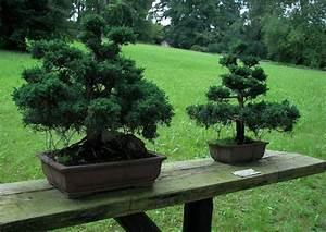 Chinesischer Wacholder Bonsai : juniperus wacholder koniferen f r die gartengestaltung juniperus communis ~ Sanjose-hotels-ca.com Haus und Dekorationen