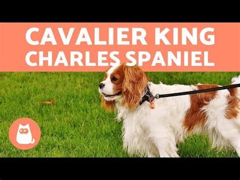 cavalier king charles spaniel grooming video funnydogtv