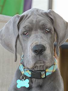 Blue Great Dane puppy - | My love for Great Danes | Pinterest