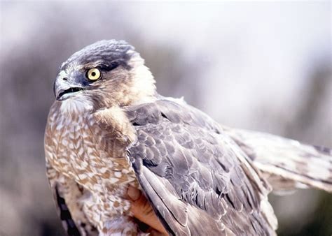 cooper s hawk accipiter cooperii wildlife journal junior