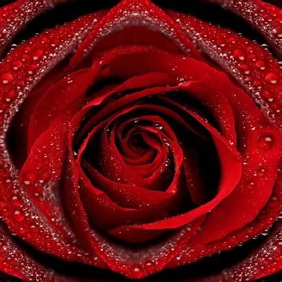 Rose Roses Wallpapers Desktop Petals Dew Story