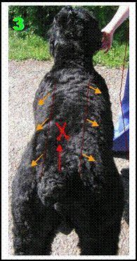 grooming guide  black russian terriers   groom