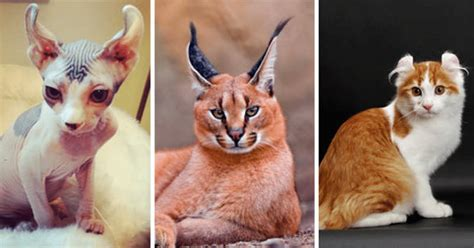 expensive cat most breeds cats costing