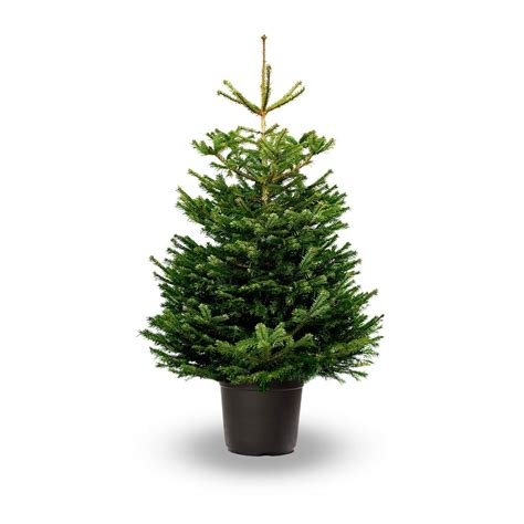 nordmann fir real potted christmas tree