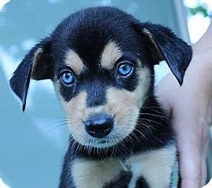 Image Gallery husky beagle mix