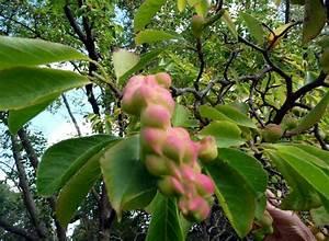 Was Ist Das Für Ein Baum : was ist das f r ein baum kobushi magnolie pflanzenbestimmung pflanzensuche green24 hilfe ~ Buech-reservation.com Haus und Dekorationen