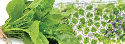 chloroplast connection achieving healthy longevity