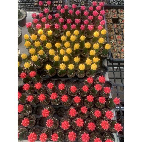 กระบองเพชรยิมโนหัวสีส่งทั้งกระถาง | Shopee Thailand